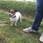Jack Russell observant