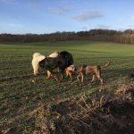 Akita, Braque et Rottweiler qui se reniflent
