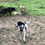Rottweiler, Mâtin espagnol et les congénères