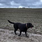 Labrador dans la terre
