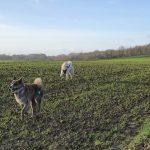 Mâtin espagnol et Akita dans les champs