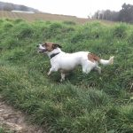 Jack Russell qui gambade