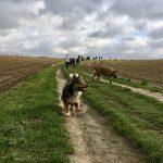 Malinois dans les champs