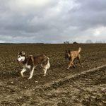 Husky et Malinois qui gambadent