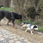 Rottweiler et petit chien en balade