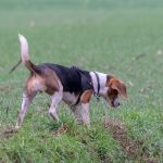 Beagle intrigué