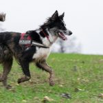 Border collie et son harnais rouge