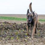 Berger Malinois la queue haute