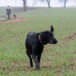 Golden retriever noir dans les champs