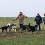 Husky et Bouvier bernois et des congénères
