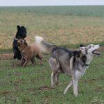 Husky, et Malinois en interaction