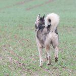 Husky qui trottine dans les champs