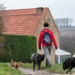 Chiens de berger et petit chien en promenade