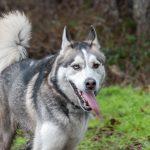 Husky et ses yeux vairons