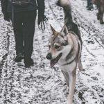 Chien-loup en balade dans la neige