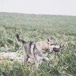 Chien-loup dans les hautes herbes