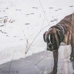 Boxer qui marche sur la glace