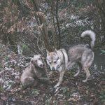 Braque et Chien-loup qui jouent