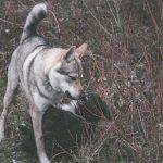 Chien-loup et Border collie en interaction