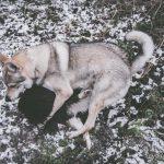 Chien-loup et Border Collie dans la neige