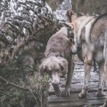 Braque et chien-loup en forêt