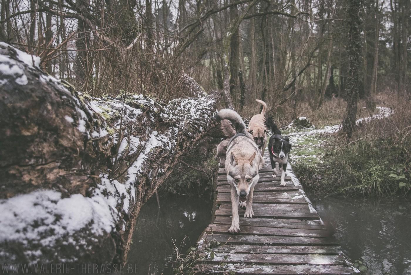 Chien-loup, Border collie et des congénères