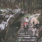 Berger d'anatolie et d'autres chiens