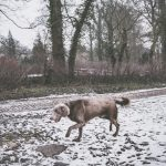Braque dans la neige