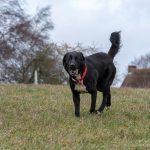Golden retriever noir en promenade