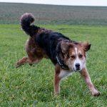 Beau chien tricolores qui court
