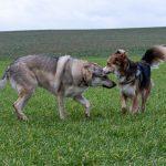 Chien-loup et un congénère