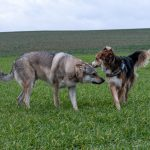 Chien-loup qui sent un autre chien