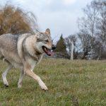 Magnifique chien-loup