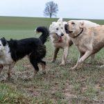 Border collie, Labrador et BBS qui sont sales