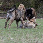 Chien-loup, Berger portugais et un autre chien