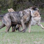 Chien-loup en interaction avec un Mâtin espagnol