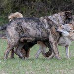 Rencontre entre Chien-loup et un congénère