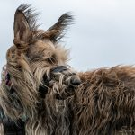 Grand chien qui observe au loin