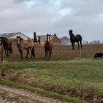 Border collie et les chevaux