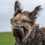 Berger des Pyrénées dans le vent