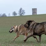 Chien-loup et un autre chien dans les champs