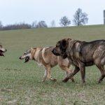 Chiens-loups et un congénère