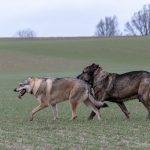 Chien-loup et un ami