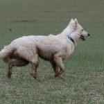 Berger blanc suisse qui regarde au loin