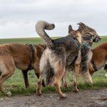 groupe de chien jouant