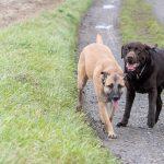 Berger Allemand et Labrador Chocolat côte à côte