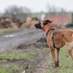 Berger Malinois regardant l'horizon