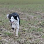 Border Collie regardant au loin