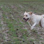 Labrador dans les airs