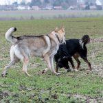 border et chien-loup